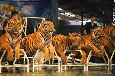tours-in-pattaya-siracha-tiger-zoo