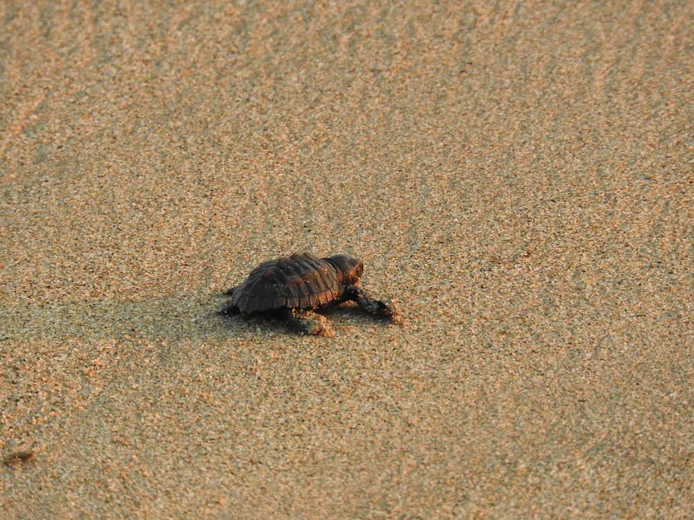 Sea turtle Mai Khao